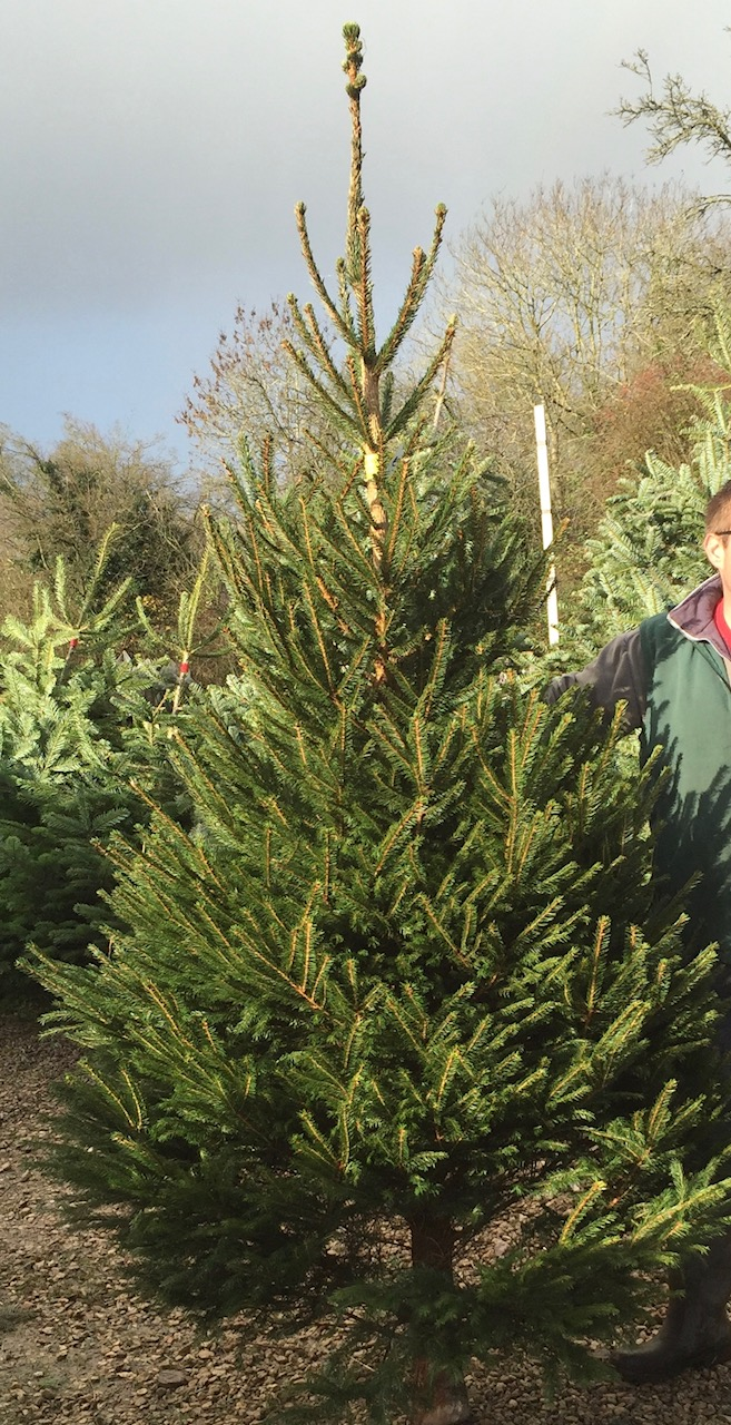 Norway Spruce – The Natural Christmas Tree Co.